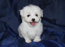 Самые маленькие и красивые породы собак