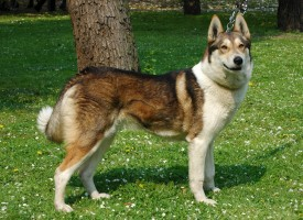 Собаки охотничьих пород: Русско-европейские лайки и другие