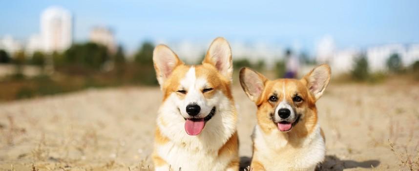 Самая спокойная порода маленьких собак