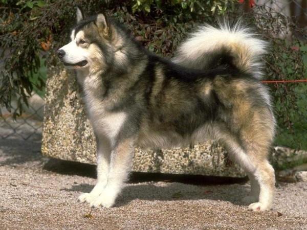 Собаки лайки их разновидности и описание породы