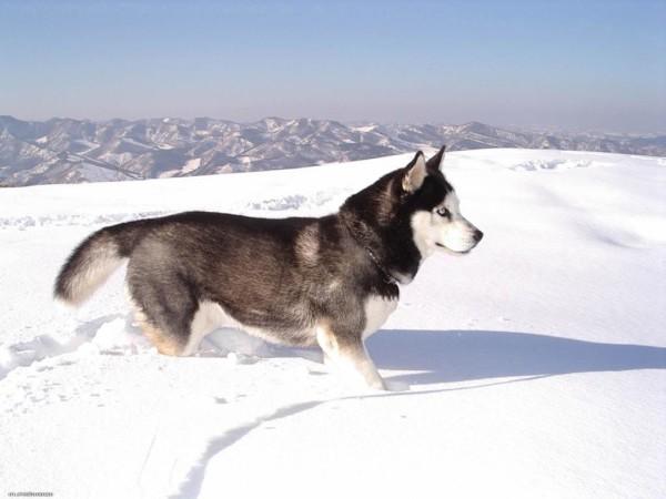 Как назвать собаку породы лайка
