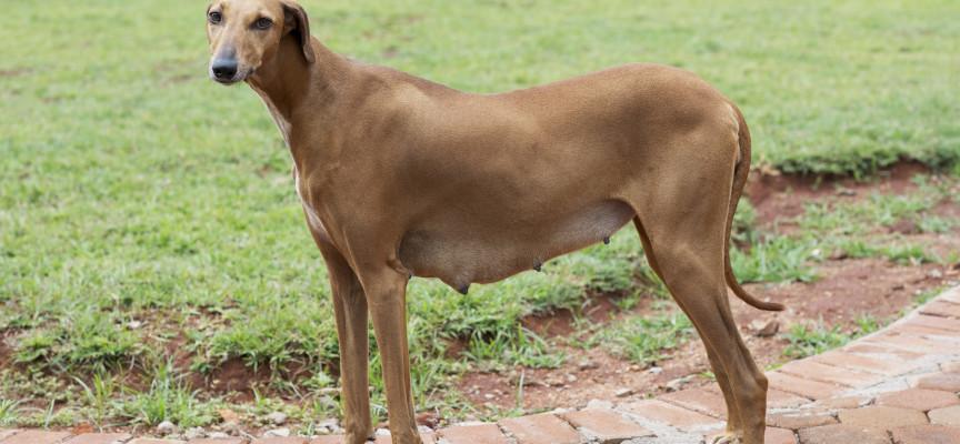 Правила ухода за собакой во время течки