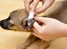Чистка ушей у собаки: правильно выбираем средства
