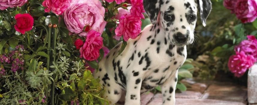 Средние, гладкошерстные породы собак