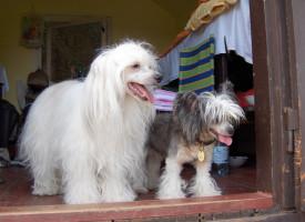 Китайская хохлатая пуховая собака: уход и содержание