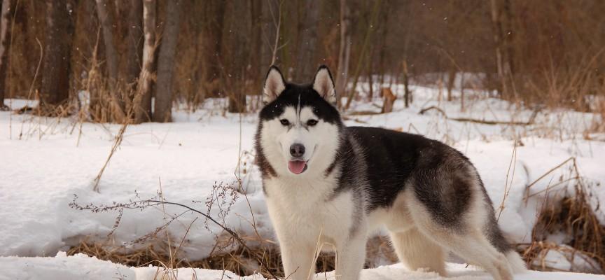 Лайка собака: описание породы