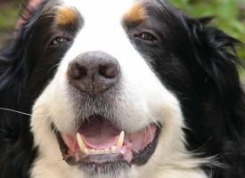 Можно ли чистить собакам зубы