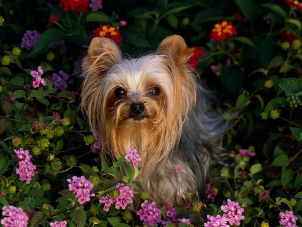 Самая маленькая порода собак в мире