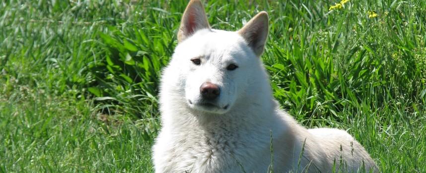 Собака породы Западно-сибирская лайка