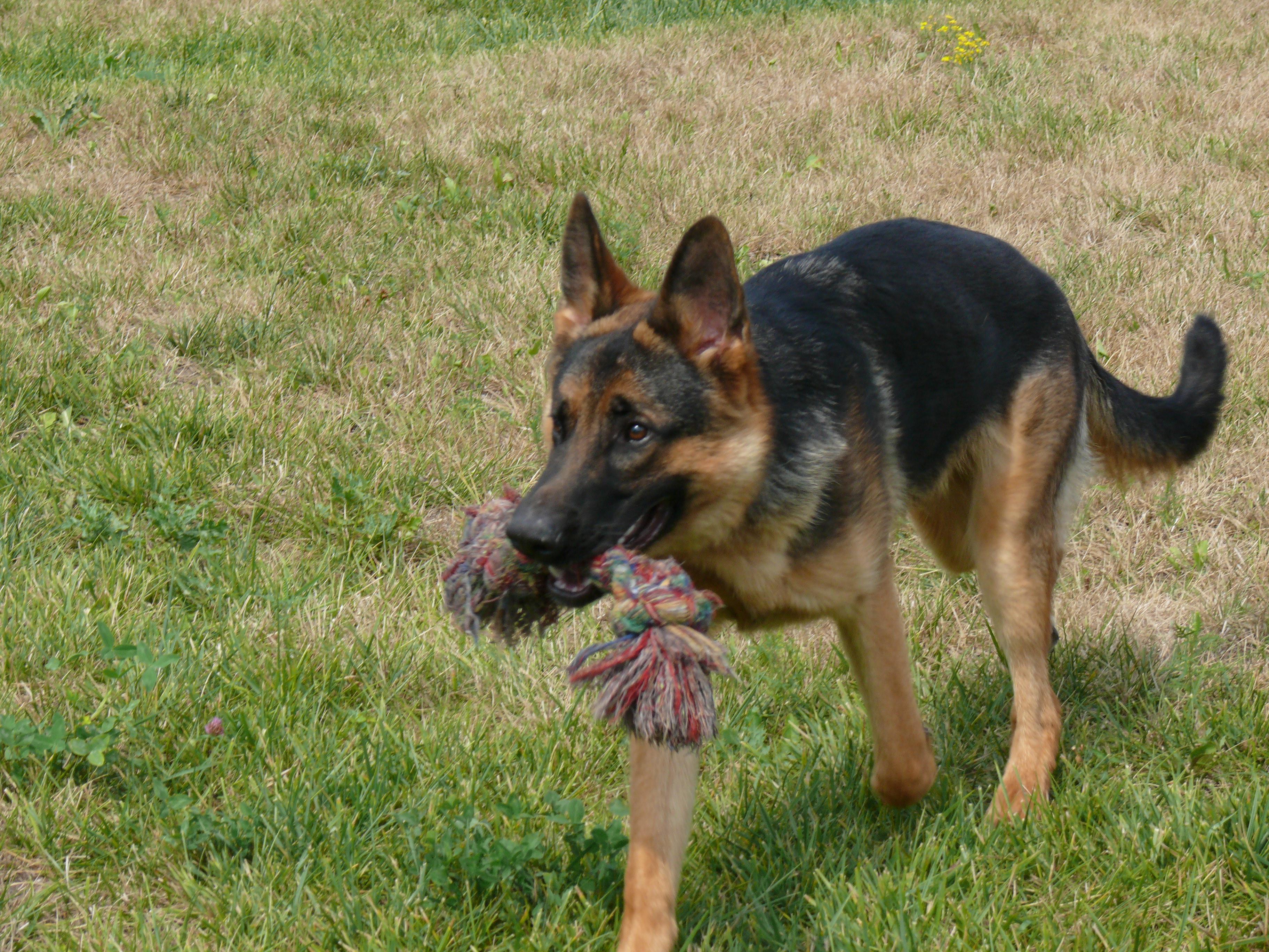Вельш-корги: фото собаки, цена, описание породы