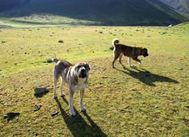Кавказская овчарка: уход и воспитание надежного четвероного друга