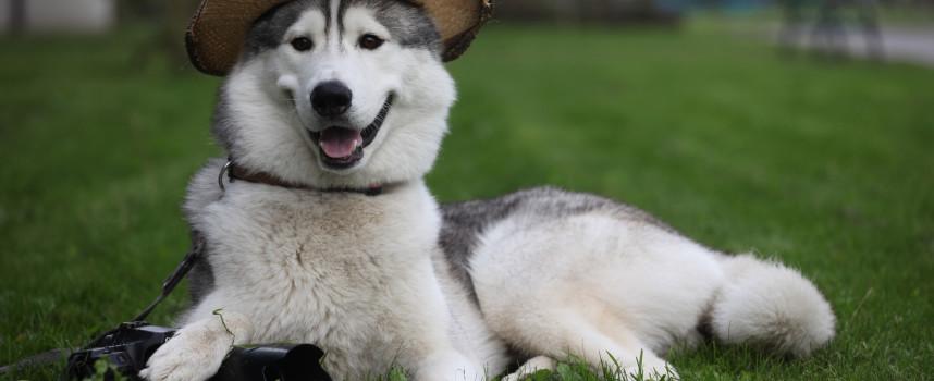 Как назвать собаку породы лайка?