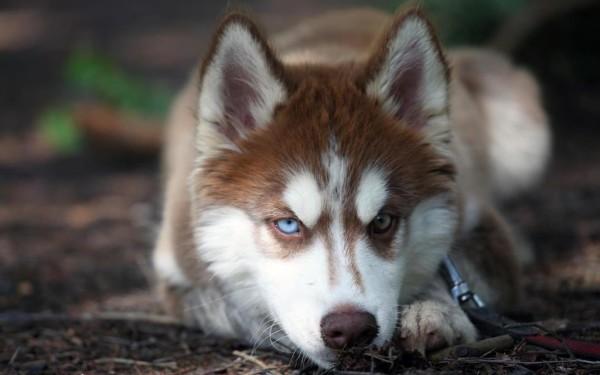 Лайка собака и описание ее породы