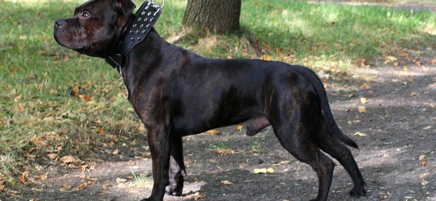 Самая лучшая и сильная бойцовская порода собак