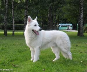 Швейцарская овчарка – легко обучаемая порода и отменный охранник