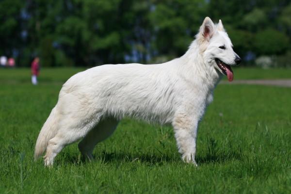 швейцарская овчарка описание породы