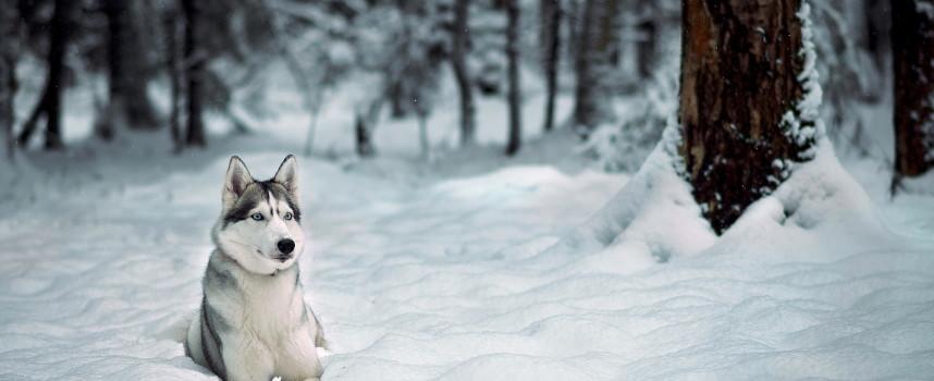 Собаки лайки, их разновидности и описание породы